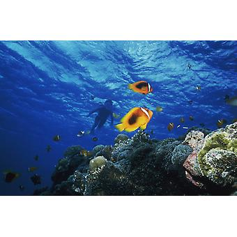 Low angle view of fish undersea Okinawa Prefecture Japan Poster Print