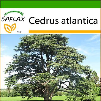 Saflax - 20 seeds - With soil - North African Atlas Cedar - Cèdre de l'Atlas - Cedro dell'Atlante - Cedro azul del Atlas - Nordafrikanische Atlas Zeder