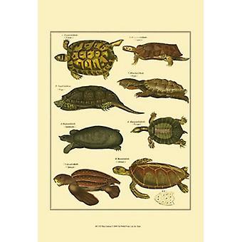 Sköldpadda affisch Skriv av Oken (13 x 19)