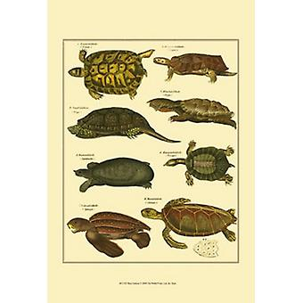 Tortoise Poster Print by Oken (13 x 19)