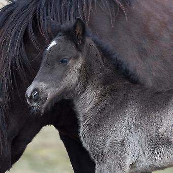 Potro recém-nascido com cavalo puro-sangue de cavalo Islândia Islândia Poster Print