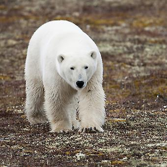 A Polar Bear (Ursus Maritimus) Walking On The Tundra Churchill Manitoba Canada PosterPrint