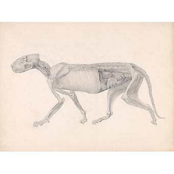 George Stubbs - Anatomical Structure of A Body Poster Print Giclee