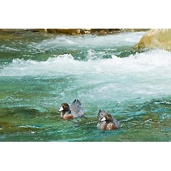 New Zealand South Island Kelly Creek Blue Duck Poster Print by Fredrik Norrsell