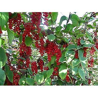 Schisandra chinensis - Five Flavour Berry
