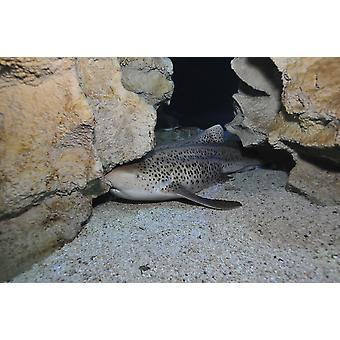 Leopard Shark Blue Zoo Aquarium Beijing China Poster drucken