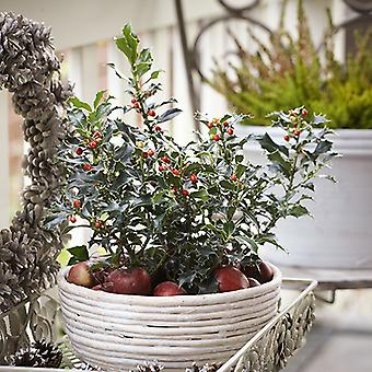 Holly Bush Ilex 'Blue Angel' in a 2L Decorative Pot with Berries Christmas