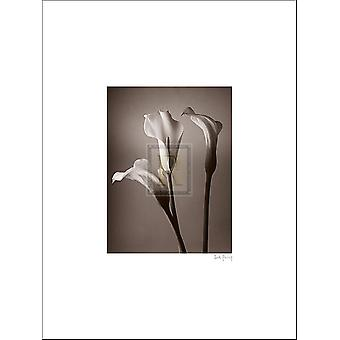 Calla Lily Poster Print by Bill Philip (12 x 16)