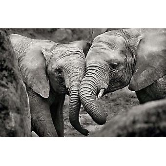 Elephant Mother & Calf Poster Poster Print