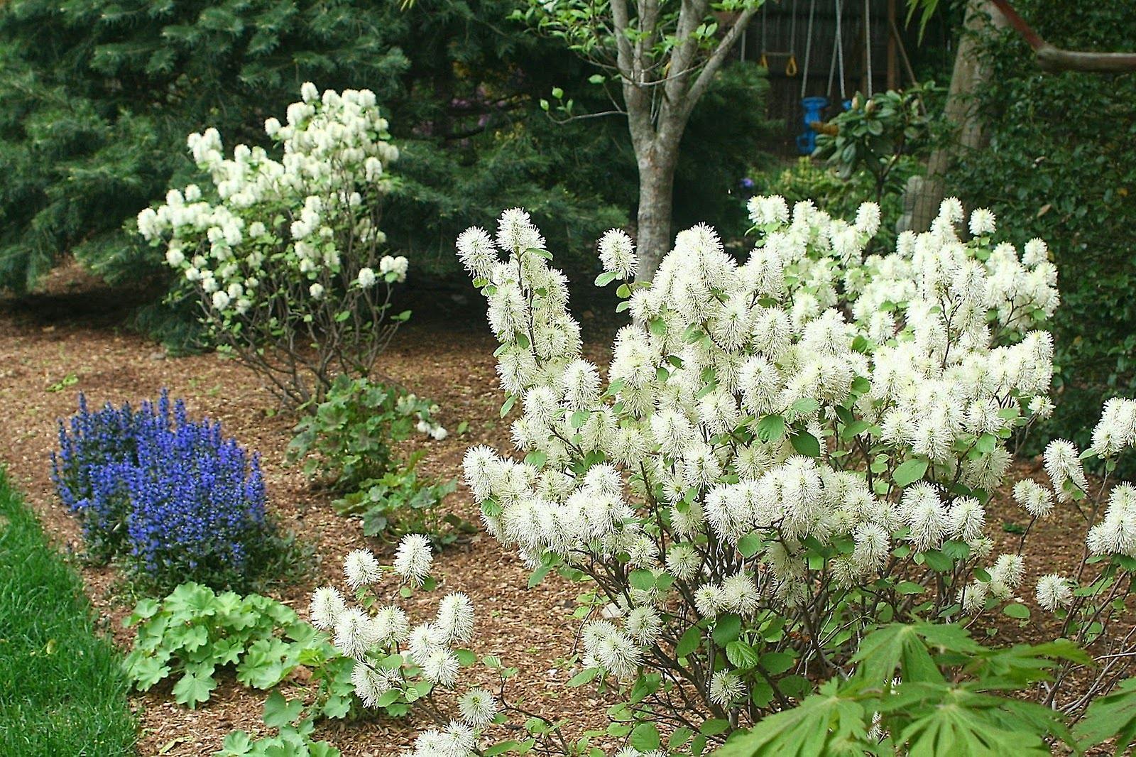 Fothergilla major - American Wych Hazel, Plant in 9cm Pot