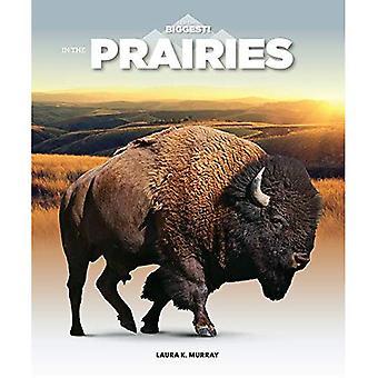 Dans les Prairies (je suis le plus grand)