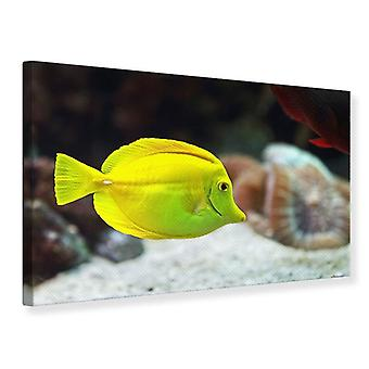 Canvas Print Surgeon Fish