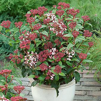Viburnum tinus - Laurustinus - Pack of THREE