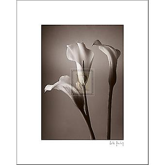Calla Lily Poster Print by Bill Philip (8 x 10)