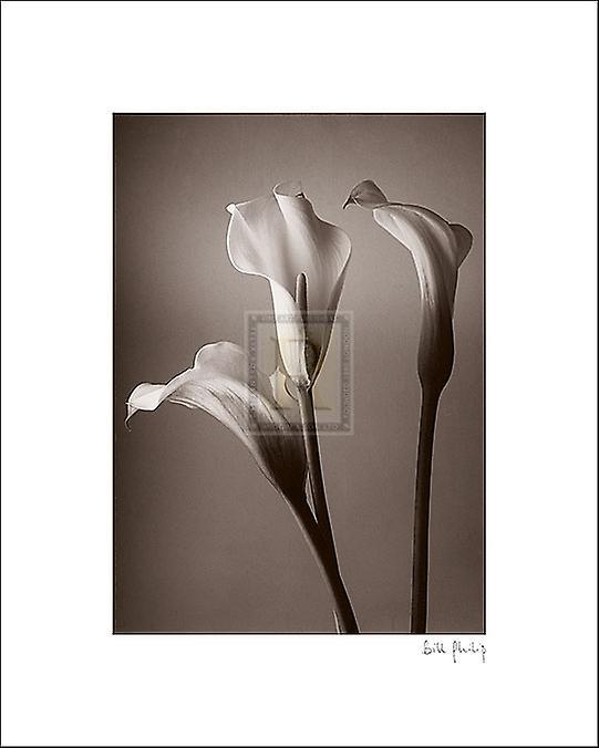 Calla Lily Poster Print by Bill Philip (8 x 10)