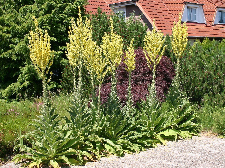 Verbascum olympicum - Greek Mullein, Plant in 1Ltr Pot