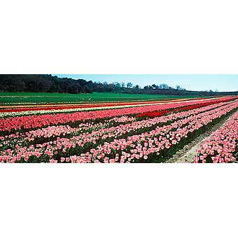 Tulips flowers in a farm Provence-Alpes-Cote dAzur France Poster Print