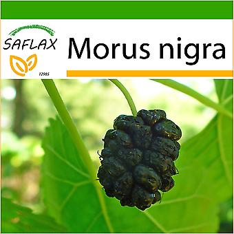 Saflax - 200 seeds - With soil - Black Mulberry - Mûrier noir - Gelso nero  - Mora negra - Schwarzer Maulbeerbaum