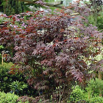 Japanese Maple Acer palmatum 'Atropurpureum' in a 3L Pot 50cm tall