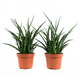 2 × Indoor plant – Viper's bowstring | Height: 25 cm | Sansevieria