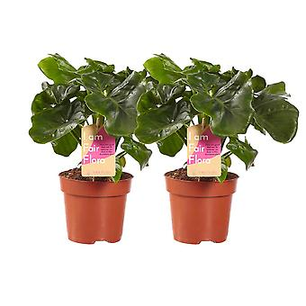 Choice of Green - Set of 2 Philodendron Atom