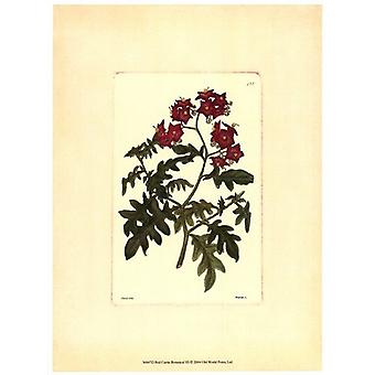 Red Curtis Botanical III Poster Print by Vision studio (10 x 13)