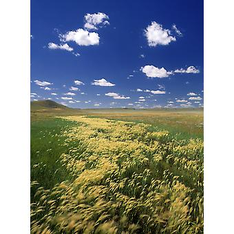 Fox Tail Barley Grasslands National Park Saskatchewan Canada PosterPrint
