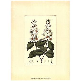 Wit Curtis botanische II Poster Print by visie studio (10 x 13)