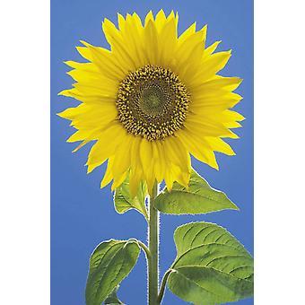 Poster - Studio B - 24x36 Sunflower Wall Art CJ2268