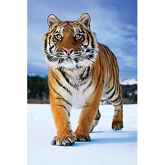 Tim Flach - Tiger Poster Poster Print