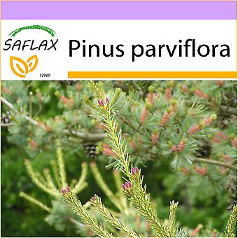 Saflax - 10 seeds - Japanese White Pine - Pin blanc du Japon - Pino bianco giapponese  - Pino blanco japonés - Mädchenkiefer