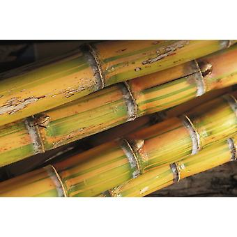 Close-Up Detail Of Mature Sugar Cane Stalks Poster Print (8 x 10)