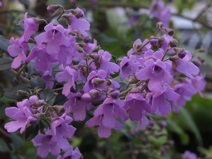 Prostanthera rotundifolia - Mint Bush Plant 9cm Pot