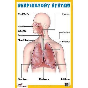 Grafico educativo del sistema respiratorio
