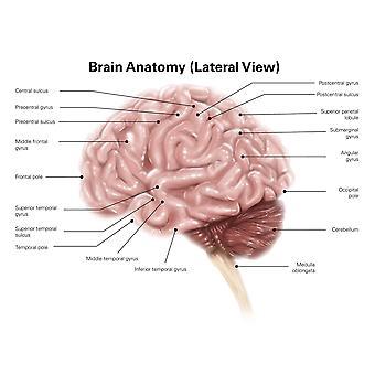 Widok boczny anatomii ludzkiego mózgu Poster Print przez Alan GesekStocktrek obrazów